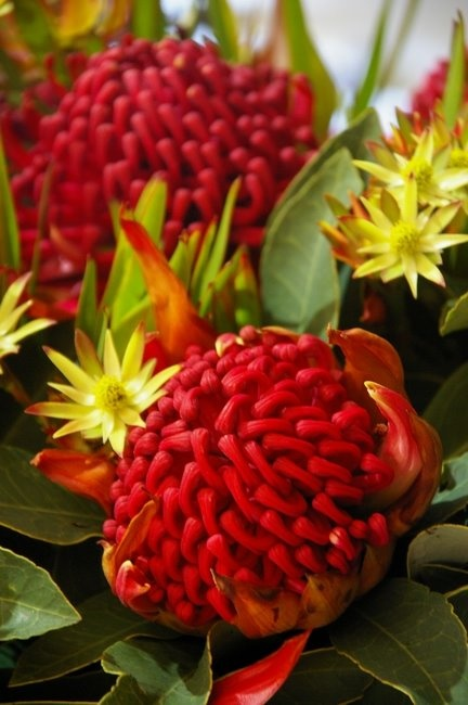Waratah - copyright: DAVID McMAHON  Waratah is an endemic, Australian genus of five species of large shrubs or small trees, native to the southeastern parts of Australia.