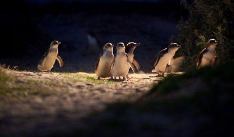 Penguin Parade at Phillip Island Nature Park