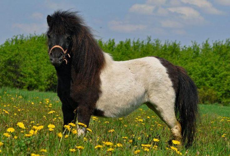 Horses for sale - Shetland Pony Horse Poland Pony For sale Eleonore v. Klein Engelland