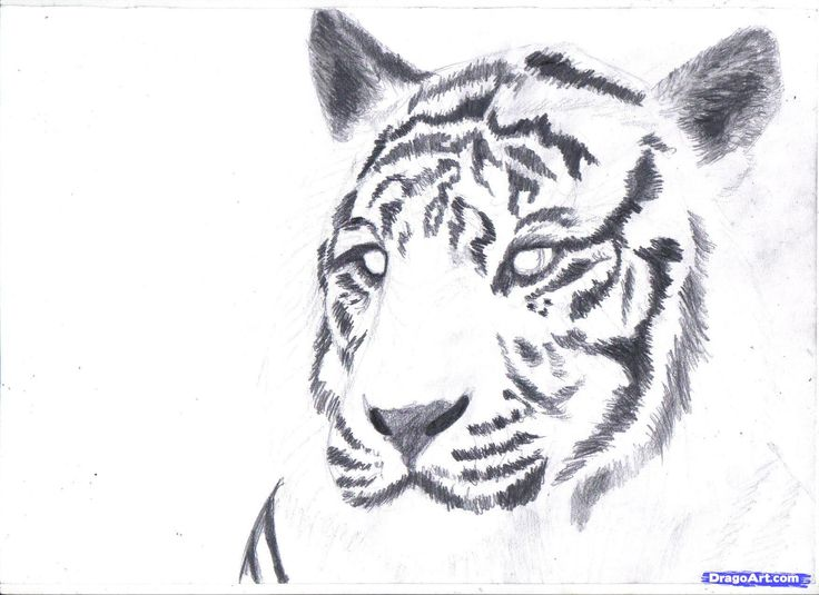 How to draw a white tiger draw a tiger in pencil step 7