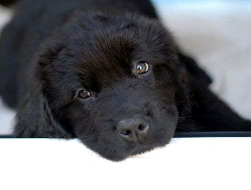 newfoundlands | Newfoundlands have an incredible sweet and gentle nature...