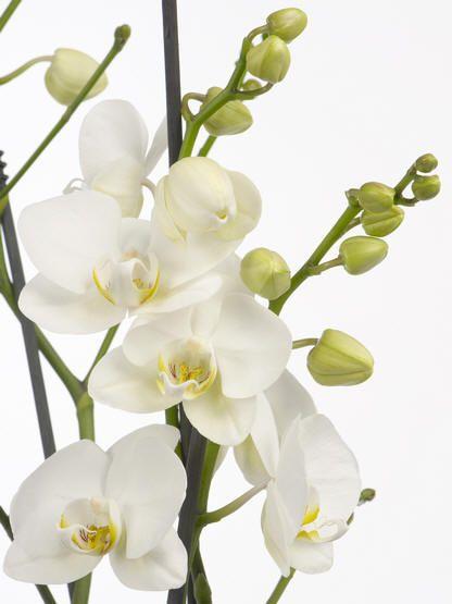 Phalaenopsis Ve White, orchidee Phalaenopsis met witte bloemen en lange bloei