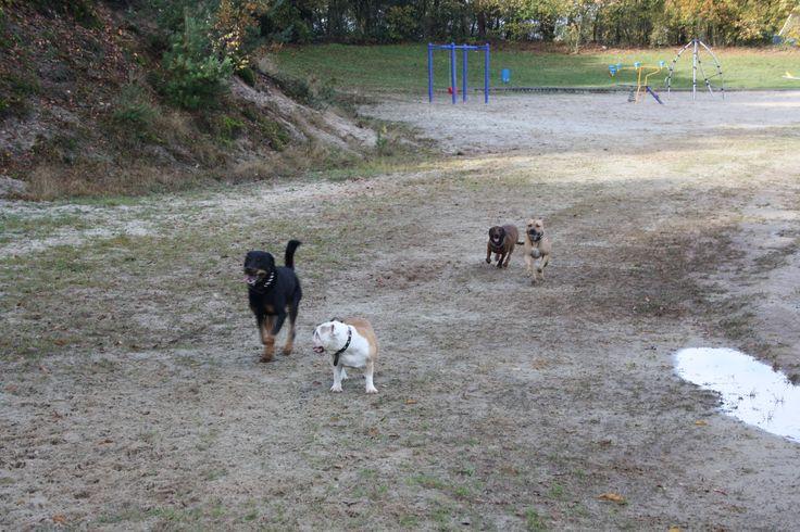 Running & playing. Bavarian Mountain Hound.