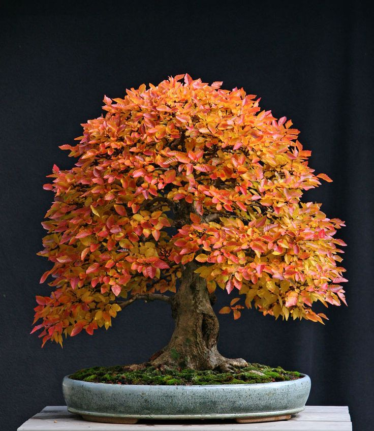 bonsai tree. This is an imported Korean hornbeam (Carpinus coreana)It is approximately 60 years old. Fall color is still somewhat of a mystery even to plant scientists. Rainfall, sunlight and temperature all play a part. But the bottom line is I never know how much color a tree will have until the colors start to change. This year's colors were magnificent on this tree.