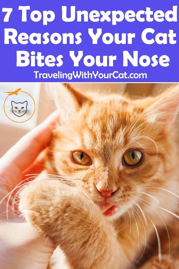 7 Top Unexpected Reasons Your Cat Bites Your Nose Cat Biting Cat Behavior Cats