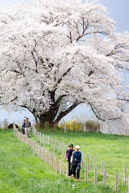 The Great Cherry Tree blossoms in full bloom, Hachimantai in Iwate, Japan
