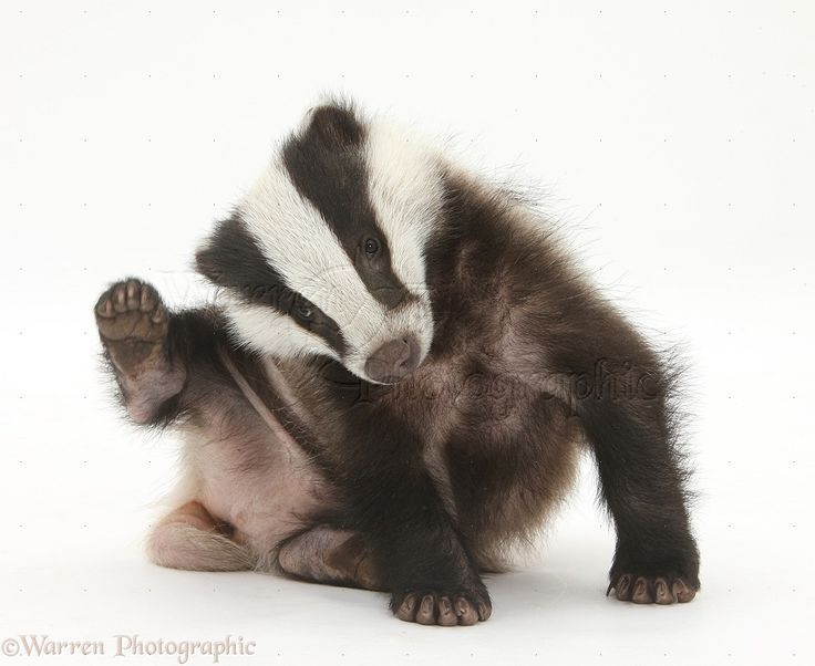 Baby badger having a good scratch