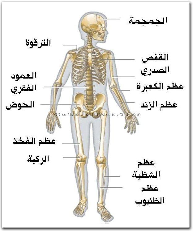 جسم الانسان الهيكل العظمي ساره مساعد 10 7 Numbers Preschool Rib Cage Pelvis