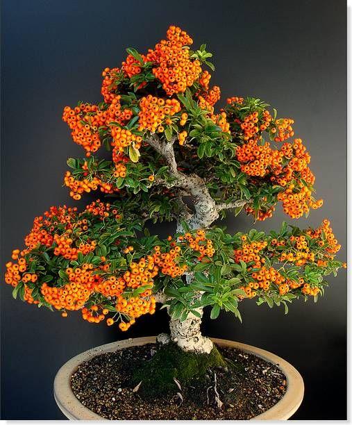 bonsai pyracantha                                                       …