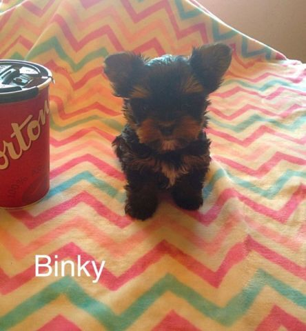 Teacup Yorkie Puppies dogs, puppies for sale Saskatoon