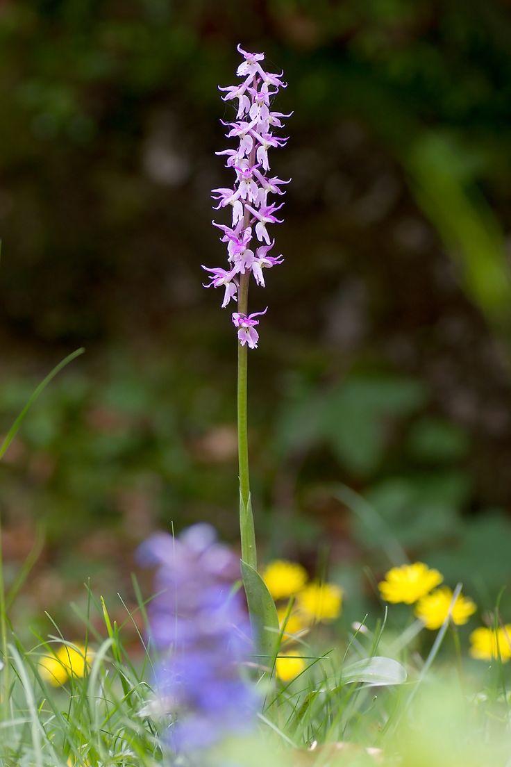 Orchis mascula ssp. speciosa   Männliches Knabenkraut