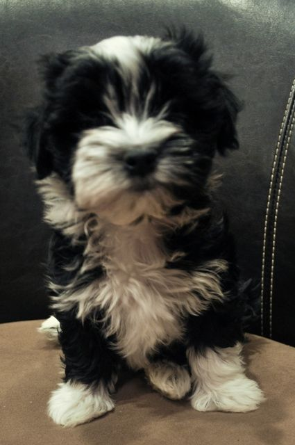 Current Havanese Puppies for Sale - Our Newest Litter is Here!