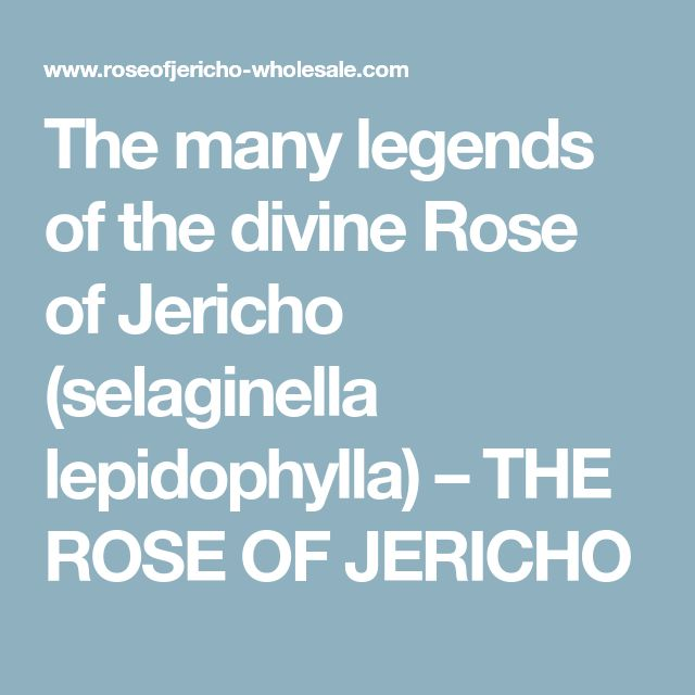The many legends of the divine Rose of Jericho (selaginella lepidophylla) – THE ROSE OF JERICHO