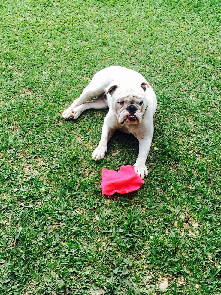 Lula dog bulldog