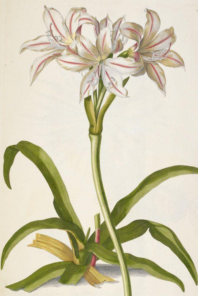 Amaryllis belladonna lily wall art prints by j e haid for Bulbes amaryllis belladonna