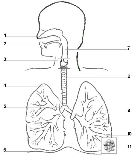 "Respiratory System Diagram - IDEA: Students ""remix"" your image and add their own tags (indivdually or in groups)"