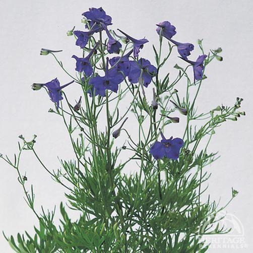 Delphinium grandiflorum 'Blue Pygmy'