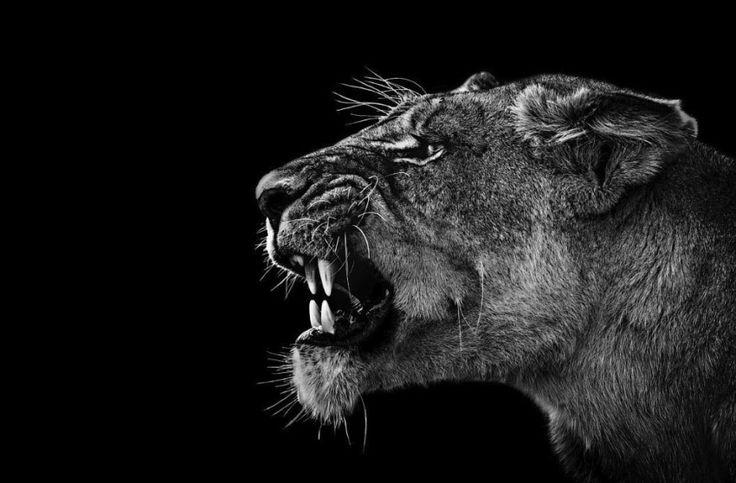 Sorprendenti ritratti di animali selvatici elaborati in bianco e nero | 4Gaia – Madre Terra