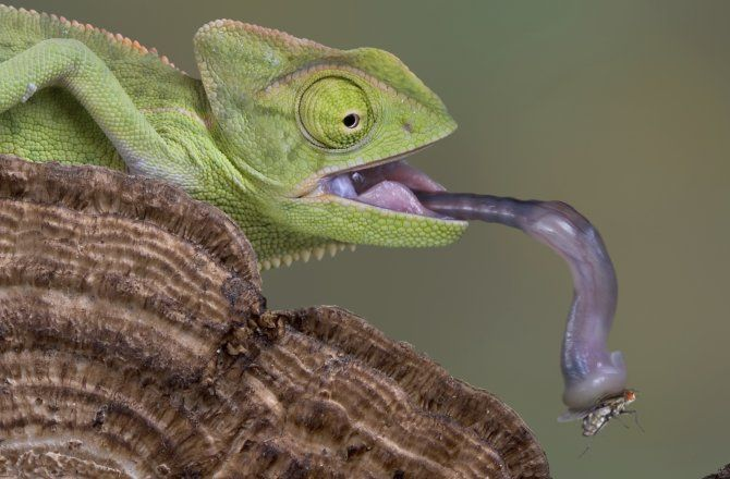 11 Amazing Animal Appendages : Discovery News.  Chameleon Tongue  Watch out, hawk moth: the tongue of adult cameleon is as long as the animal's body and tail combined. It also moves crazy fast, reaching speeds of up to 13.4 miles per hour. That's not actually possible with muscle power alone, found a study published in the journal Science earlier this year. The tongue is spring loaded by unique elastic collagen structures that give the tongue muscle its mojo.