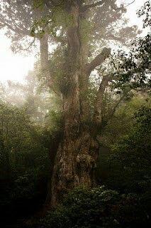 Questo albero di Cryptomeria, genere delle Cupressaceae originario dell'Asia, si chiama Jomon Sugi e si trova in un'antica e nebbiosa foresta sulla parete Nord del Miyanoura - dake, la vetta più alta di Yakushima in Giappone. Jomon Sugi è alto 25,3 m. ed ha una circonferenza di 16,2m. che lo rende la più grande conifera presente in Giappone.  Gli anelli dell'albero indicano che la sua età è di almeno 2000 anni ma alcuni botanici sostengono che possa addirittura essere di 7000 anni.