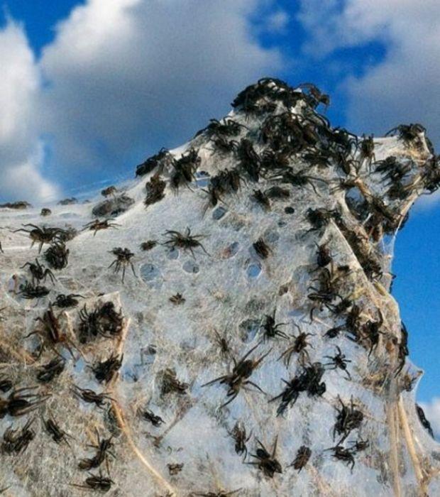 Si vous vous baladez en Australie, il est possible de croiser d'immenses toiles d'araignées