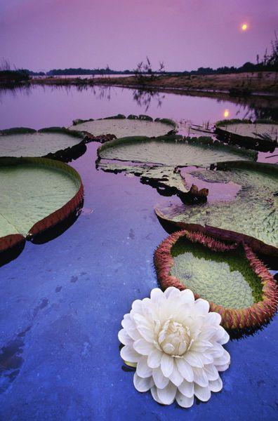 Vitoria regia gigante no Rio Paraguai, Pantanal (estados de Mato Grosso e Mato Grosso do Sul), Brasil.