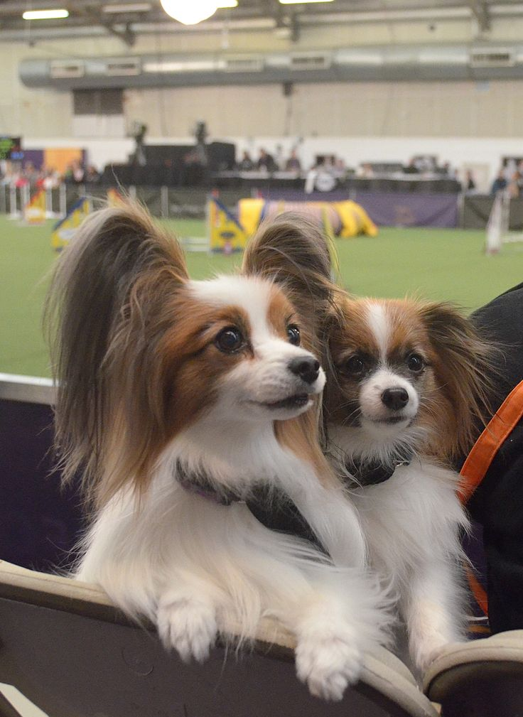 1000 ideas about westminster dog show on pinterest dog for Papillon new york
