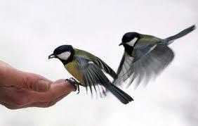 vogels in de tuin: koolmees