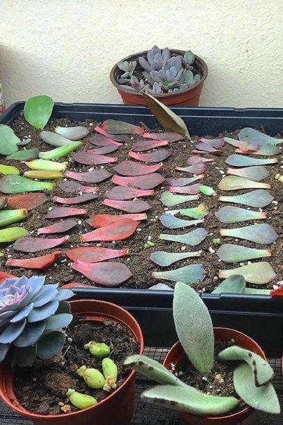 Succulent Leaf Propagation
