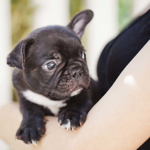 Black French Bulldog Puppy Now Living In Washington Bulldog