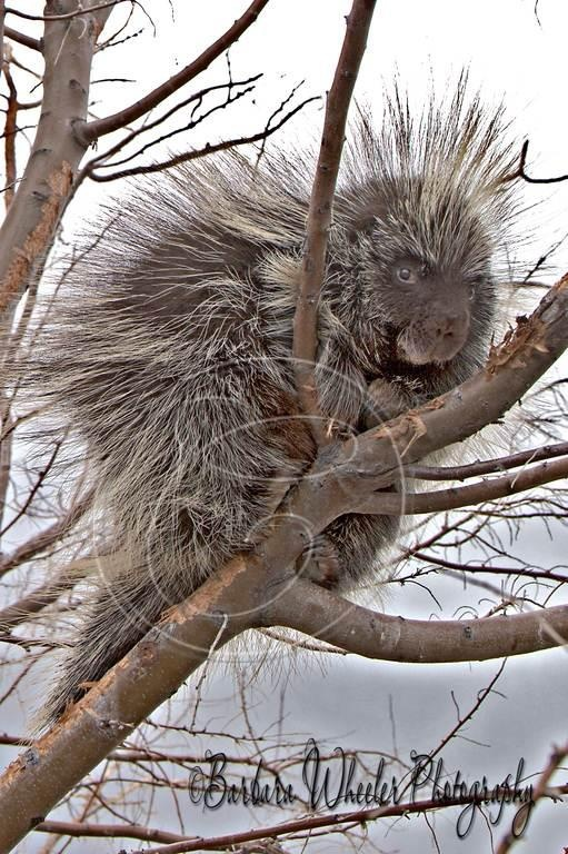 Simple Barbara Wheeler Photography Porcupines are found in the Americas south Asia and Africa The