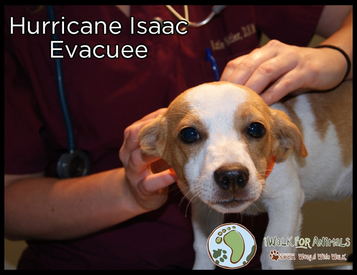 Why should you iWalk For Animals?    When Hurricane Isaac was nearing landfall, the Houston SPCA partnered with shelters in Louisiana and opened its doors to numerous cats and dogs to protect them from harm's way.  This is just one of many stories of how your support of the Houston SPCA truly helps those in need. Be part of the movement and visit www.iWalkForAnimals.org today!  Sign up to iWalk, join a team or simply make a donation to help the Houston SPCA be a shelter from the storm!