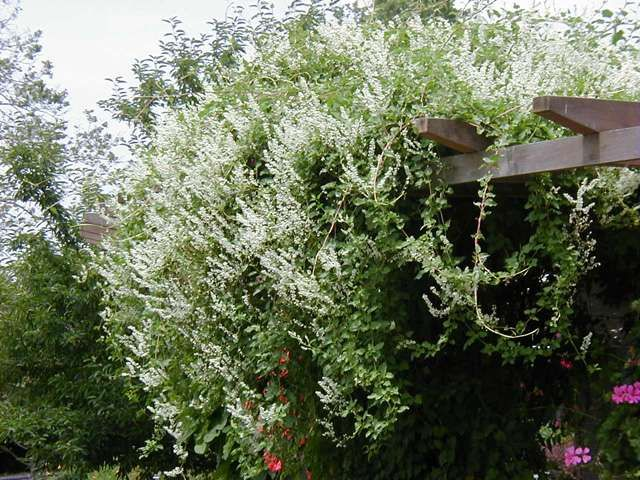 Fallopia baldschuanica (silverlace vine)