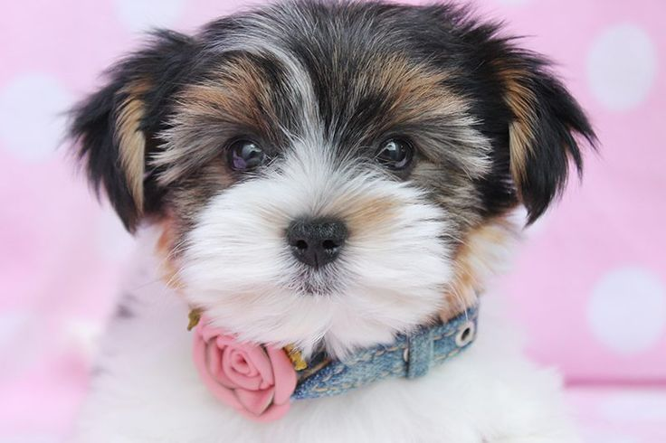 Cutest Pink Puppies Breeds  - Some big things come in small packages. While Labrador Retriever was ranked as the most famous dog, not all have the space or energy to care for bigge... -  yorkshire-terrier-04 .