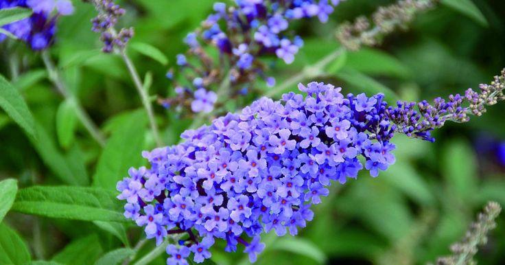 Er ist einer der prächtigsten Blütensträucher und ein Schmetterlingsmagnet im sommerlichen Garten. Hier lesen Sie, wie Sie den Sommerflieder schneiden müssen, um seine Blütenfülle zu steigern.