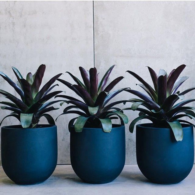 Alcantarea 'Silver Plum' is a magnificent Bromeliad suitable for a splash of colour  in the garden or makes a superb pot plant, as shown here in the new 'Willow Jitt' pot from @thebalconygarden, also available from @exotic_nurseries Have a nice weekend instagramers