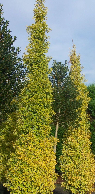 Ginkgo Biloba Fastigiata Blagon Privacy Trees Plants