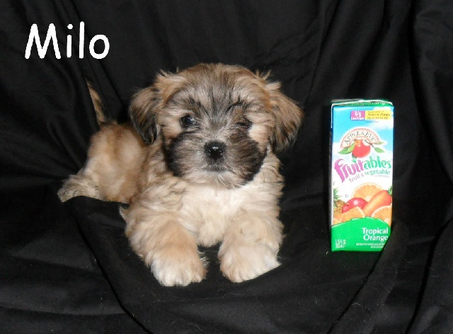 Teddy Bear Puppies For Sale In Illinois - The Best Bear 2018