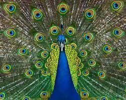 Some thought that the peacock was the real phoenix, or other mythical bird. In each culture that mythical birds were described there would exist a real bird that would fit the description of being large and beautiful. No doubt it is a magnificent bird, even if we do not believe it has any mystical qualities.