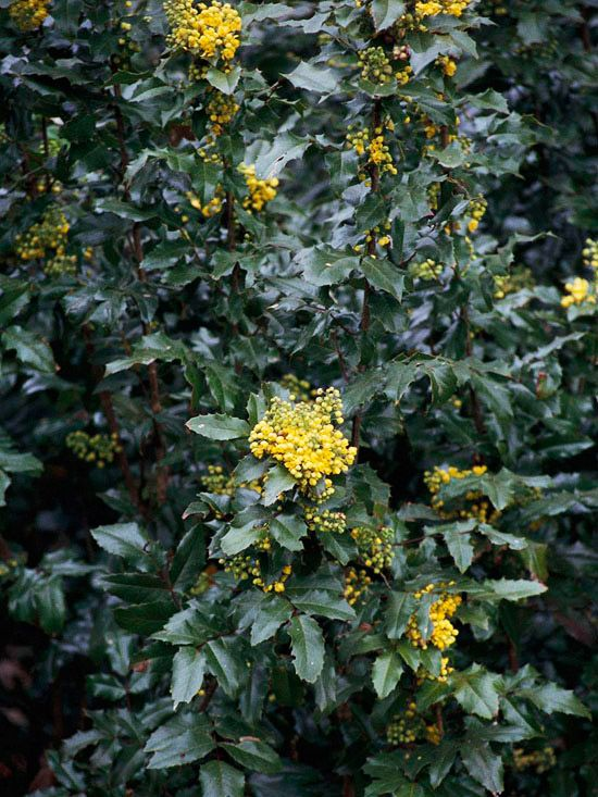 A Favorite In The Northwest Oregon Grapeholly Is Tough Shrub That Features Rich Evergreen