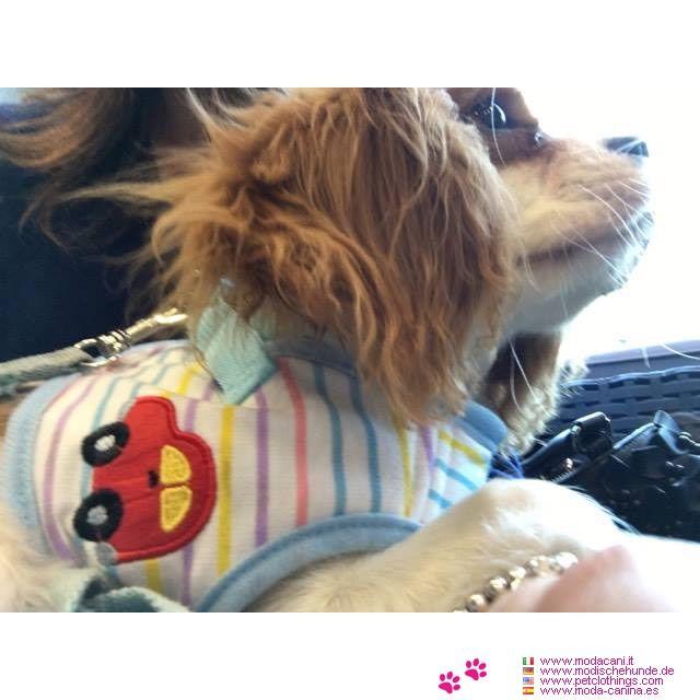 Arnés Perro Pequeño en Azul Bebé con Rayas #ModaCanina #CavalierKing - Arnés ideal para un perro pequeño: es un arnés hecho de una tela blanca (con bordes de color Azul Bebé) con el bordado de un coche