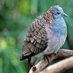 Pesona Perkutut Australia Rasa Perkutut Lokal Jawa