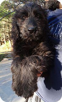 Triadelphia, WV - Labradoodle Mix. Meet Jeb a Puppy for Adoption.