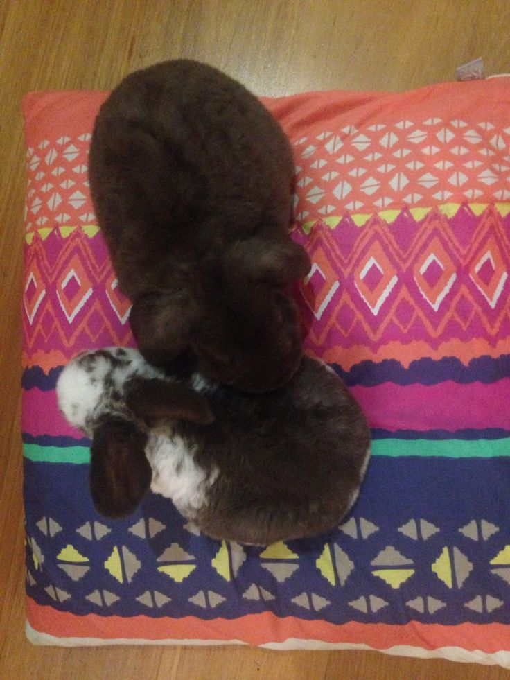 Bunnies live pillow perching