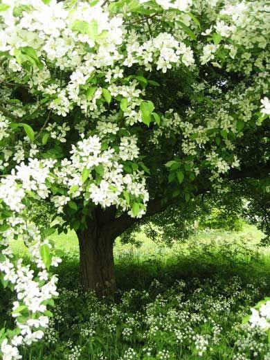 Cherry Blossom, Hatfield House, 2006 - shiro_sakura