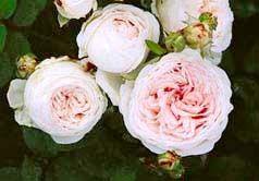 Clotilde Soupert - Rose 906 - The Antique Rose Emporium, I think that I have finally identified the antique family rose bush.