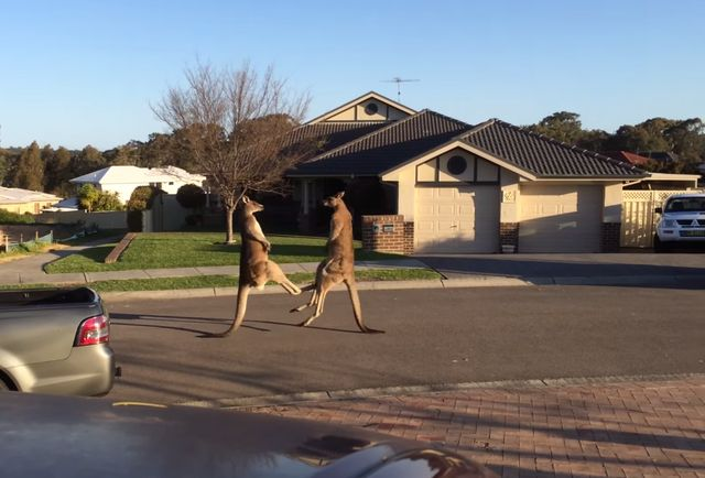 Watch 2 kangaroos square off in an epic (and hilarious) street fight
