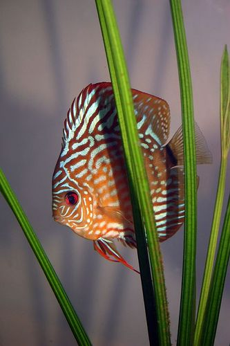 Discus is a species of tropical Cichlid, found in the Amazon basin of South America.