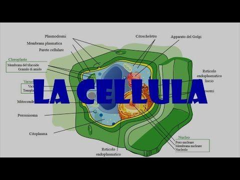 LA CELLULA - YouTube