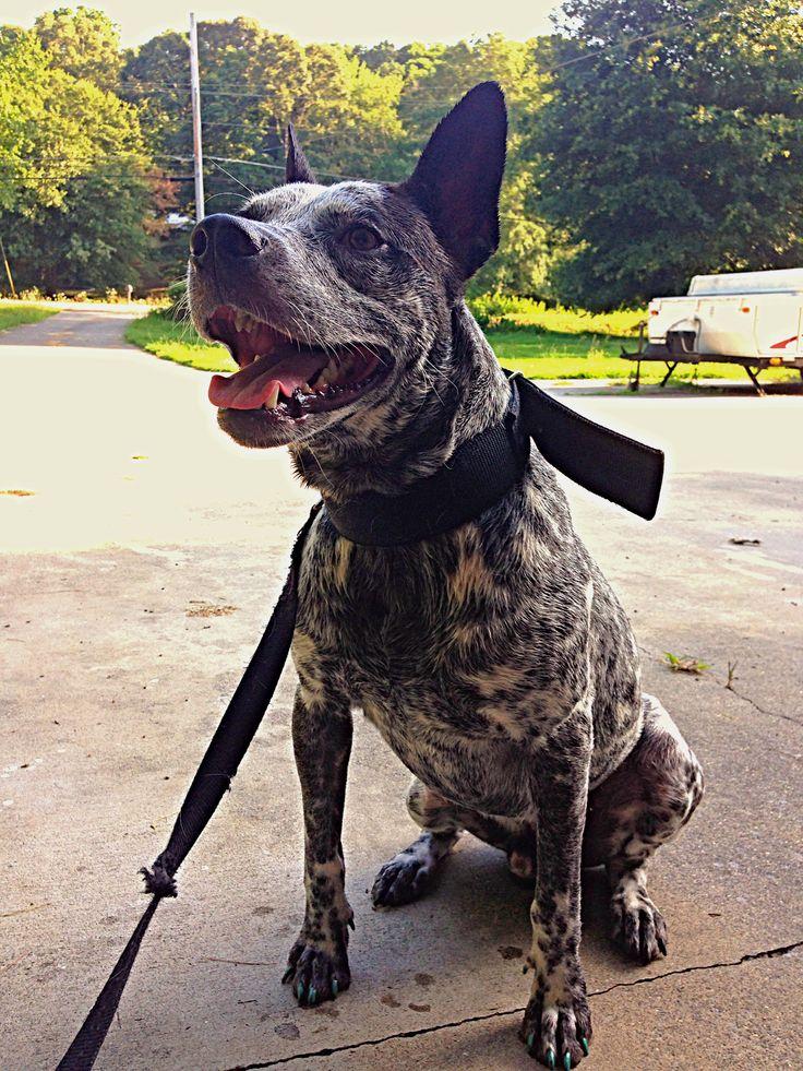 Blue heeler/pitbull mix | POOCHES | French bulldog facts ...